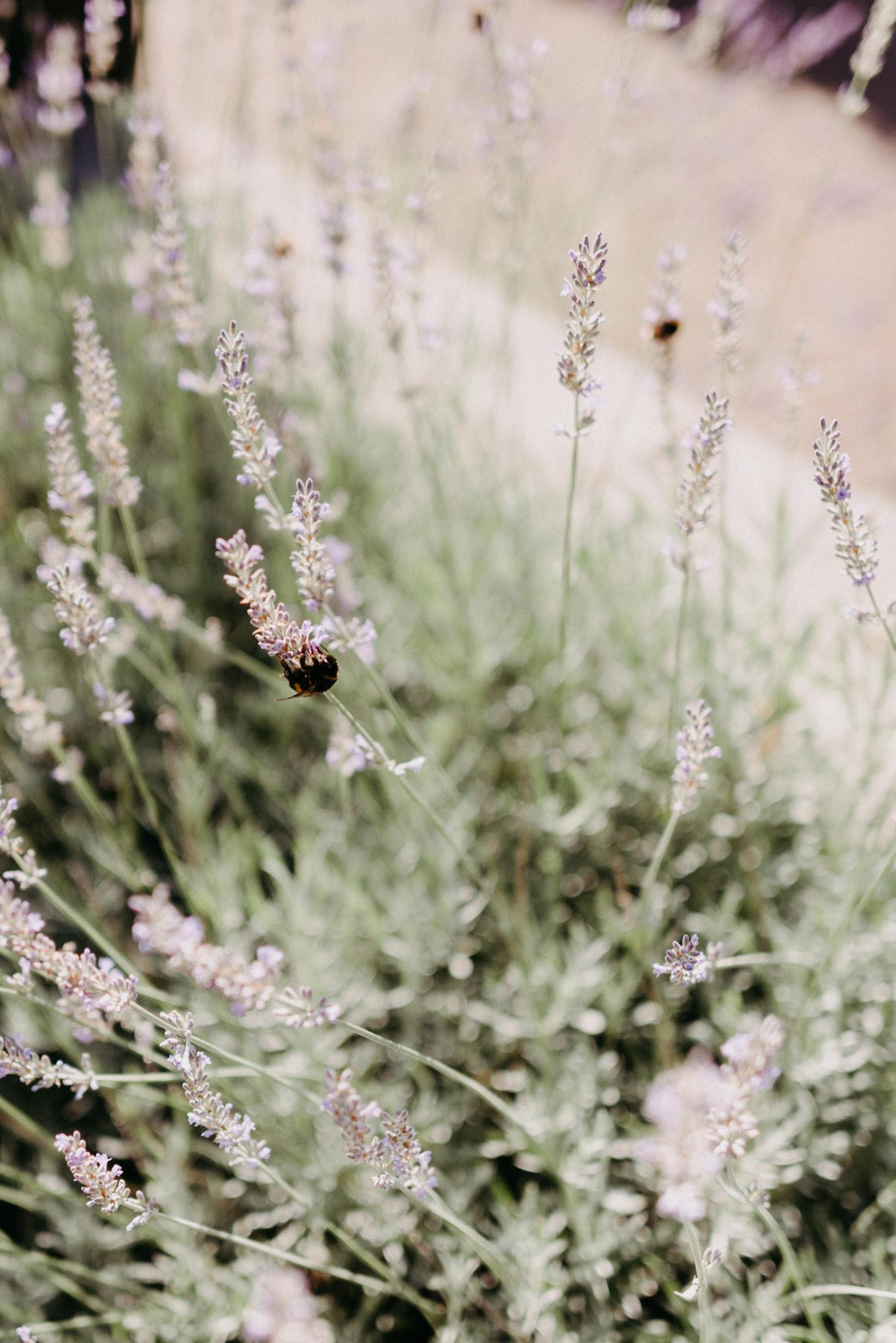 Lavendelblüten mit Hummeln